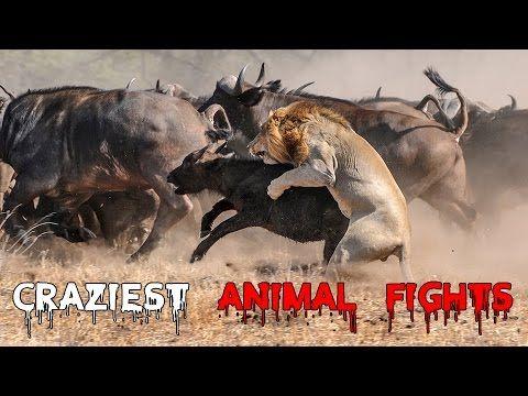 Top 10 Most Amazing Wild Animal Attacks