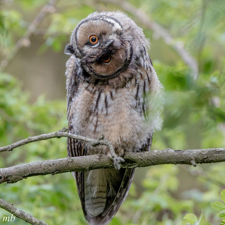 https://flic.kr/p/UFRp7g | Long Eared Owl (Juv) | As curious of me as I was of them...this was my last visit with these guys....what a joy :)