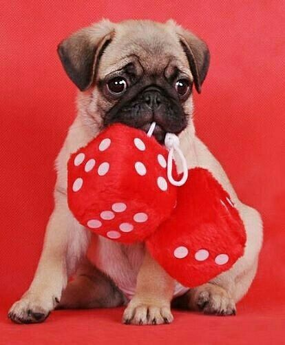 """I'm always lucky.""  www.jointhepugs.com/  #pug #pugpower #pugsnotdrugs #puglife #puglove #cuteness #pugs #puglover #dogs #animals"