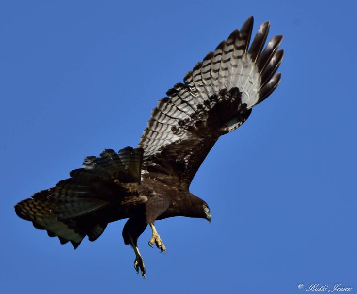 Exciting Red tail hawk soaring in the brilliant blue sky.  etsy.com at natureartgallery