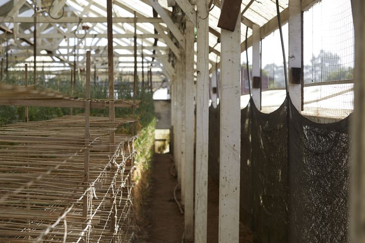 Interior of the Akiyama Greenhouses... because Carnations are extremely sensitive to disease... daily precautions are taken to prevent soil or plant contamination.
