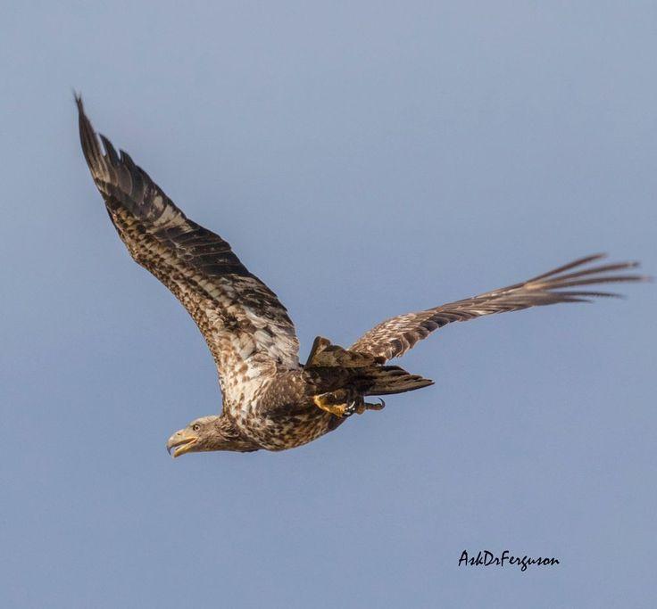 Immature Bald Eagle in flight by askdrferguson