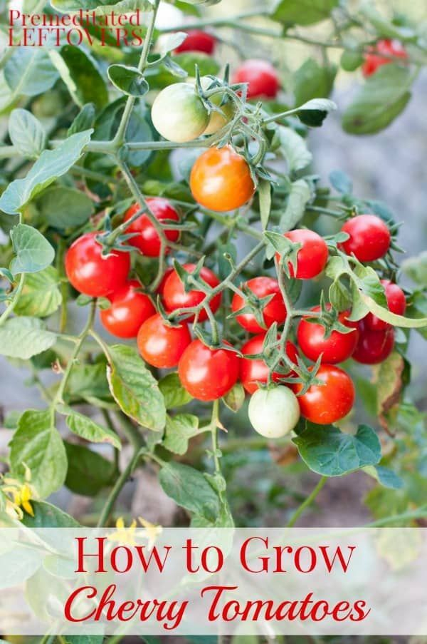 If You Want To Add Cherry Tomatoes To Your Garden These Tips Will Help You With Every Step Growing Cherry Tomatoes How To Grow Cherries Cherry Tomato Planters