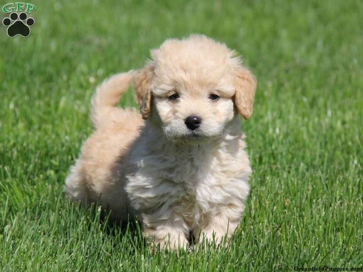 Callie, Miniature Goldendoodle for sale in East Earl, Pa