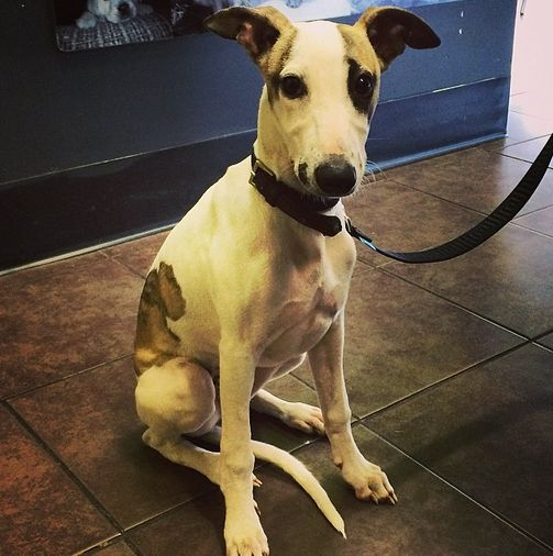 Could he be any cuter? Meet Sherlock, our newest fur baby! #whippet