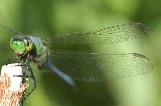 Create a dragonfly habitat for mosquito control.