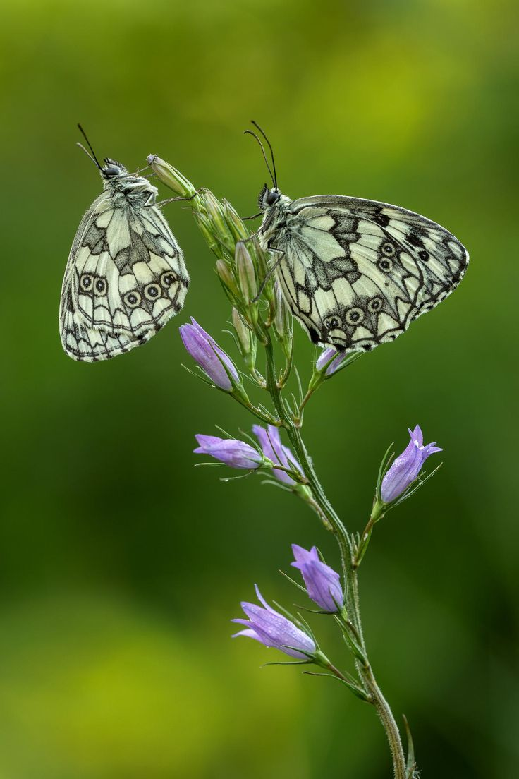 ♥♥ Butterfly and flowers for MY Metamorphosed Woman! ♥♥ Coppia di Aporie by Claudio Rossi on 500px