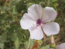 Use of Althaea officinalis (marshmallow) roots date back to the ancient Egyptians. Marshmallow roots were once used to make marshmallows!