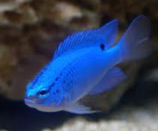 17 best images about saltwater fish i want on for Blue saltwater fish
