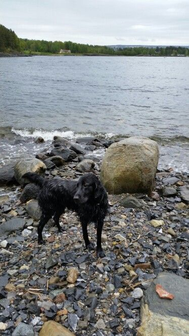 Sammy at #Brønnøya #Asker #Norway #flatcoatedretriever
