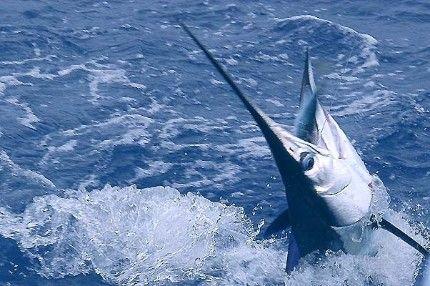 Pin by joanne o 39 neill on fishing in hawaii pinterest for Deep sea fishing oahu