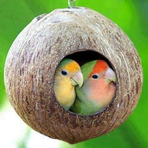 Peach faced love birds in a coconut nest <3