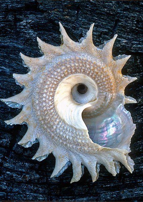 Pearly spiral.   Let op agtergrond. tekstuur kombinasie
