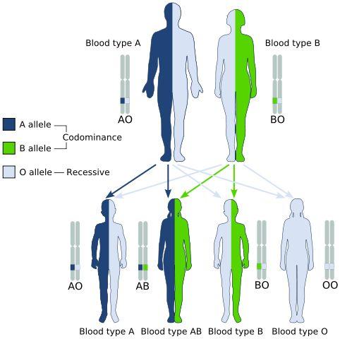 Biocuriosidades: ¿Cómo se heredan los grupos sanguíneos?