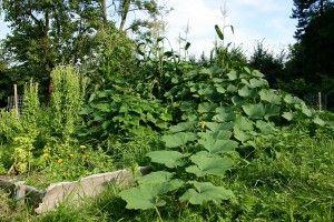 Vyvýšený záhon se 3 sestrami - indiánská metoda pěstování kukuřice, fazole a dýně. Permadesign | Design přírodních zahrad