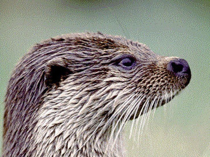 Otters uit Tsjechië naar Alde Feanen