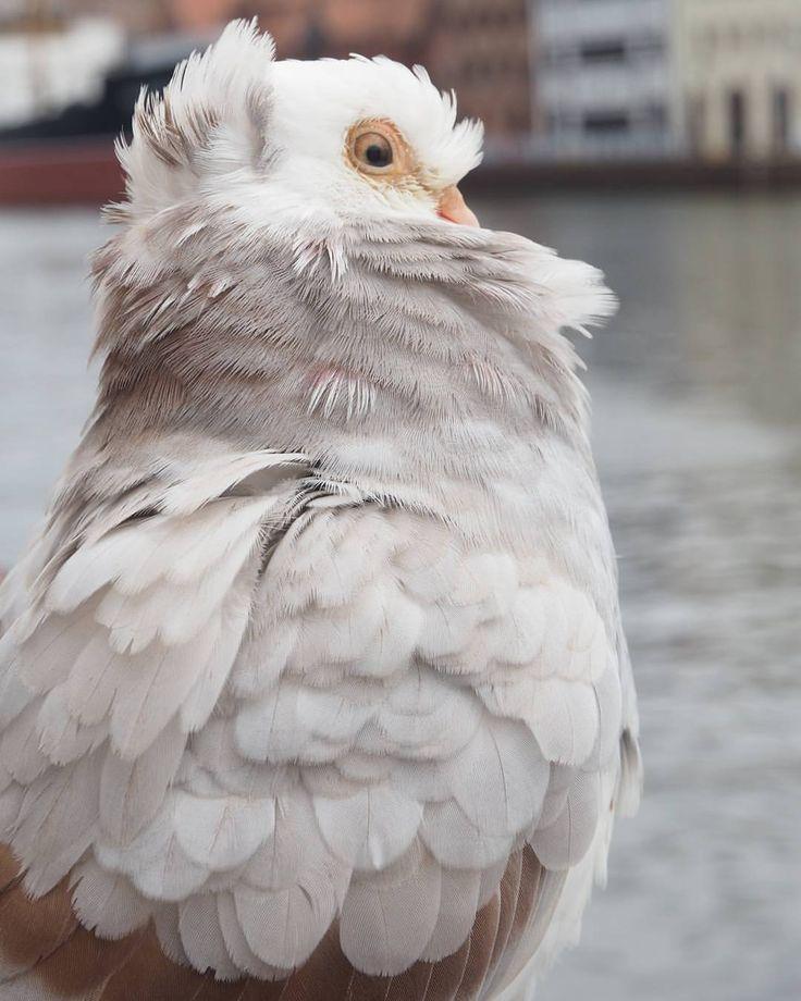#pigeon