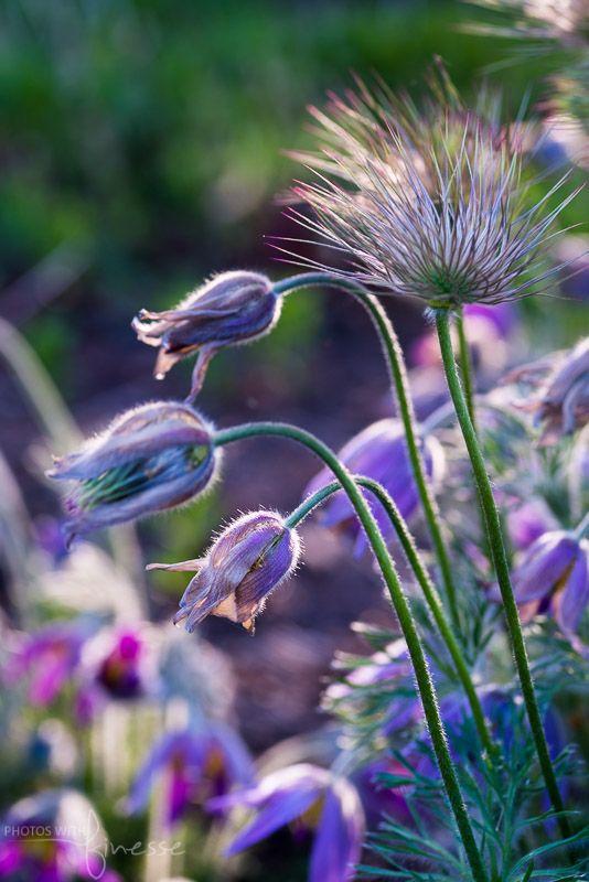 Pusatilla (Prairie Crocus or Pasque Flower)