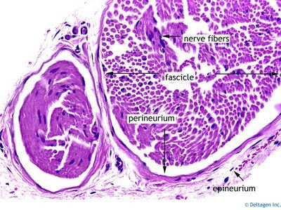 peripheral nerve slide...