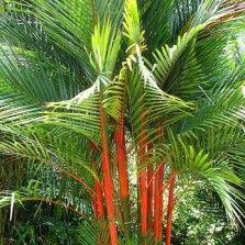 Tanaman Palem Merah (Lipstick Palm)