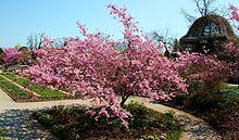 Prunus sargentii.JPG