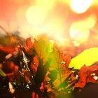 Herfst: recepten met kweeperen