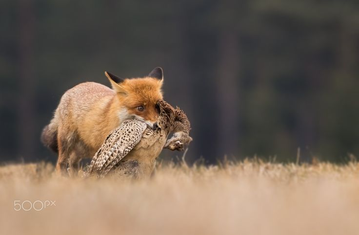 Liška obecná - ...v lidské péči