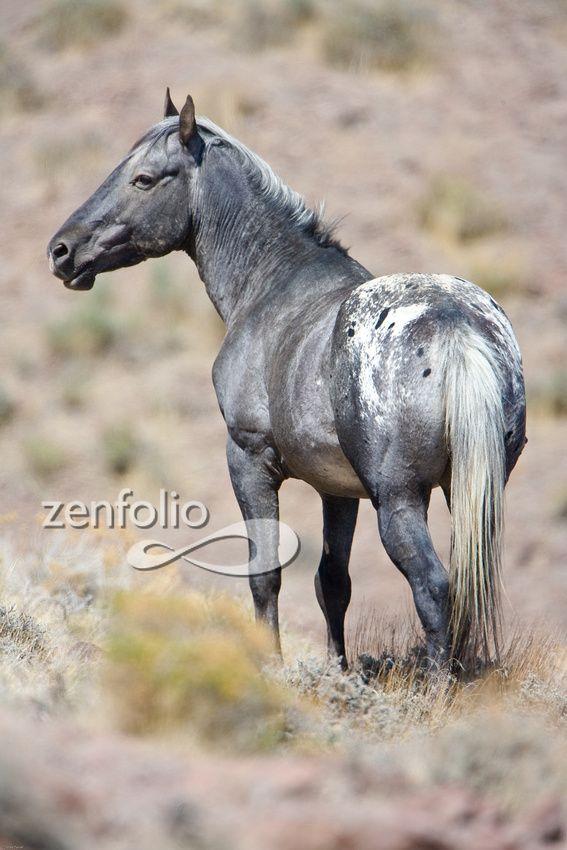 Wild Mustang Appaloosa stallion in Nevada. - photo by Mark Terrell