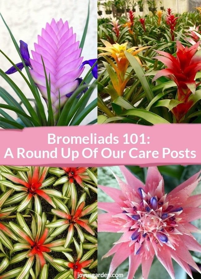 We Love Bromeliads Theyre Such Easy Colorful Houseplants