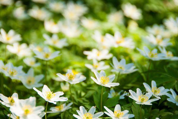 Ann-Kristina Al-Zalimi, Anemone nemorosa, anemone, wood anemone, vitsippa, finland, skandinavia, flora, woodland, metsä, kukka, kevät, spring