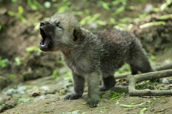 howling arctic wolf cub. | Howling at the moon | Pinterest