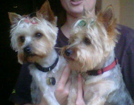 My 2 Yorkies Taylor and Trigger