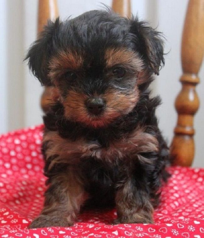 yorkie poo puppies for sale in ohio Cute Puppies Wish