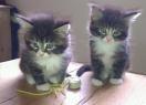 Burmese kitten brothers :)