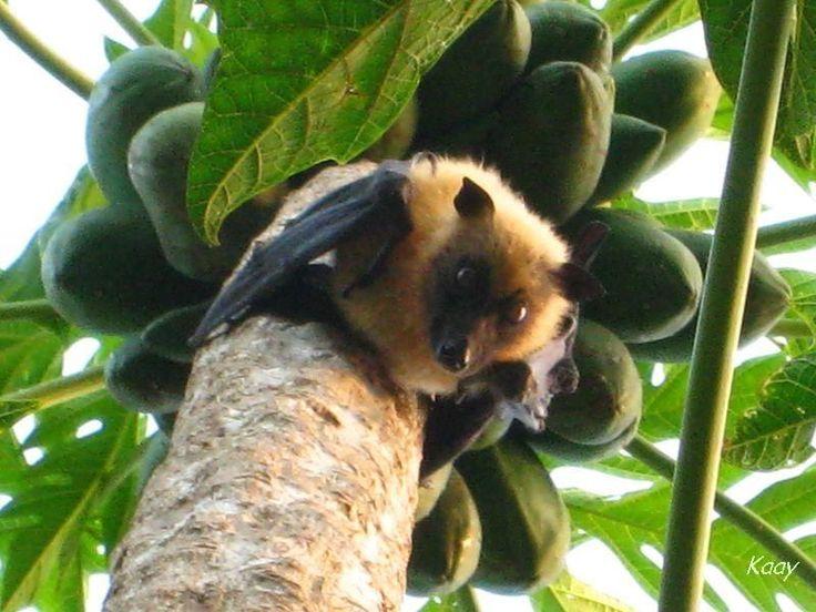 La roussette-chauve souris