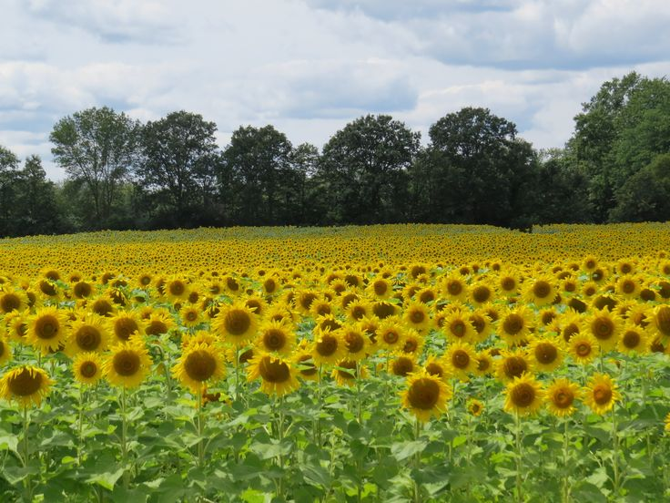 Sunflowers, Dundas, Ontario August 2013