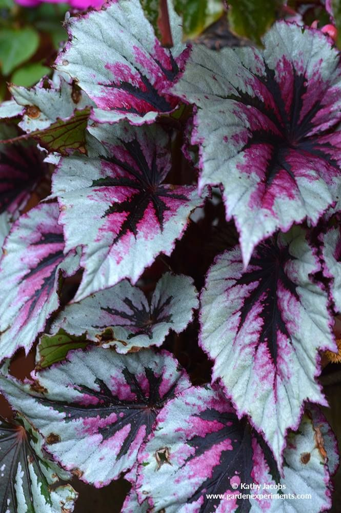 This Rex Begonia Hybrid Needs Partial Shade And I Am Hoping To