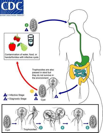 The life cycle of Giardia lamblia begins when humans ingest infective cysts via feces, fingers, food, fomites flies or infected water. The cyst then passes to the small intestine where excystation occurs and trophozites multiply asexually via binary fission. The diagnostic stage is marked by infective cysts passed in feces with trophozoites found in soft or fluid feces.
