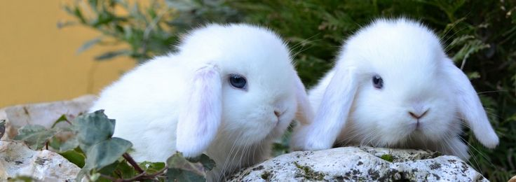 Ariete nano bianco occhi azzurri