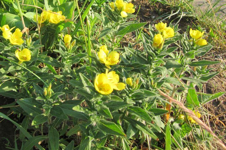 Если выращивать энотеру в полутени и тени, то цветки откроются и днем.