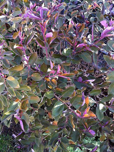 vitex trifolia purpurea