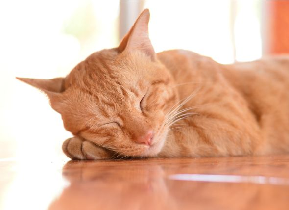 Cat Flu | H1N1 Influenza Infection in Cats | Symptoms of H1N1, Swine Flu | petMD