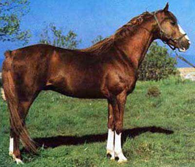 Italian Persano Horse  Italia  IL PORTALE DEL CAVALLO - razze equine.   Its difficult to find photos of these very rare horses