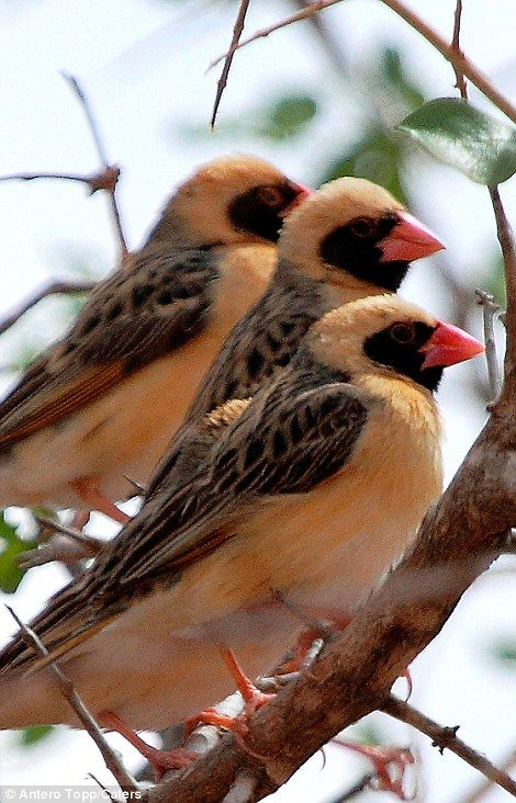 Red-billed queleas -- Click through to see photos and an amazing video of how a flock (more like a swarm!) of these tiny birds scared a herd of elephants away from a water hole in Kenya!