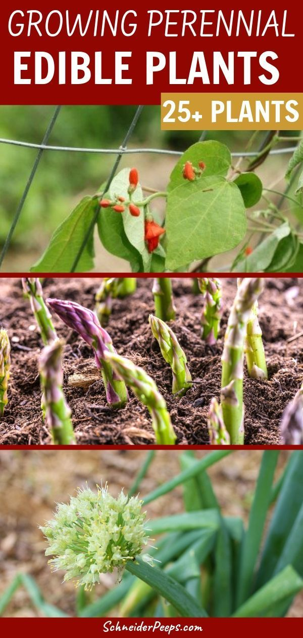 Edible Perennial Plants – Easy to grow food that produces year after year