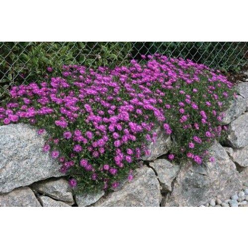 Mittagsblume Delosperma cooperi   Hauenstein's Pflanzenshop
