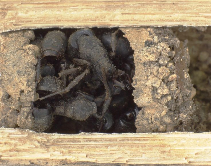 Nests of the bone-house wasp D. ossarium are closed by an outermost vestibular cell filled with dead ants.