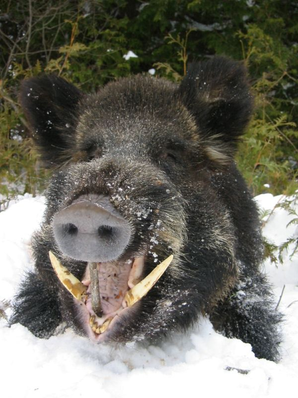 Experienced hunters say that wild boar can be even more dangerous to hunt than a bear. Equipped with thick, razor-sharp tusks, and a razor-sharp mind (hogs are the 4th most intelligent animal in the world) a wild boar can weigh a staggering 660 lbs and exhibit extremely aggressive and unpredictable behaviour.