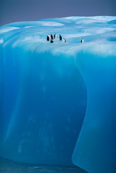 Much of the southern part of the Weddell Sea, Antarctica, home for these Chinstraps, is permanent ice - the Filchner-Ronne Ice Shelf.