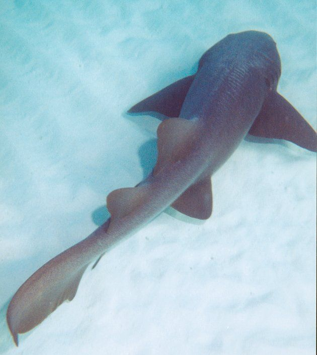 one of the not so aggressive shark... a nurse shark. i have had these bump into me swimming in the Gulf of Mexico